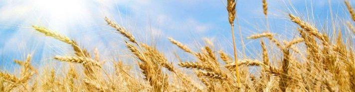 wheat-960x3501-960x2501_1