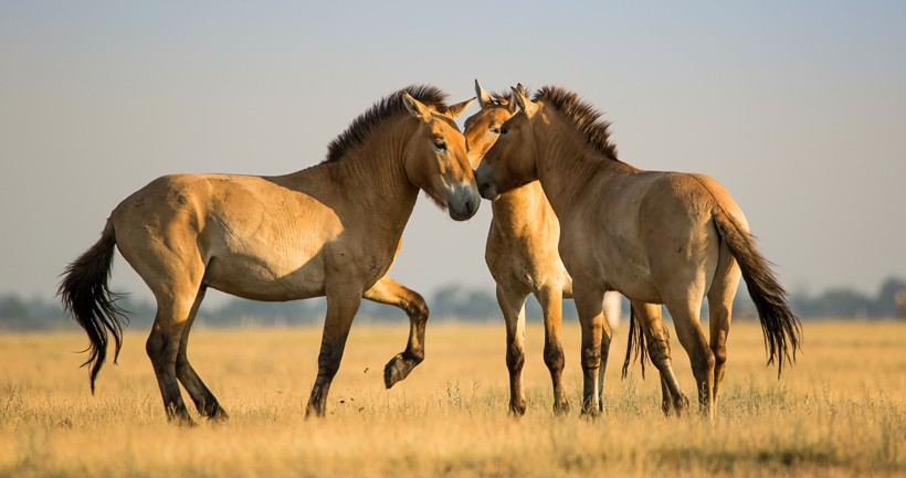 przewalski-horse-social-interaction-820x433